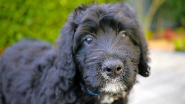 standard-bernedoodle-dog-breed-info