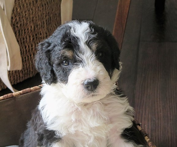 Best Bernedoodle Breeders Around The World The Dogs Journal