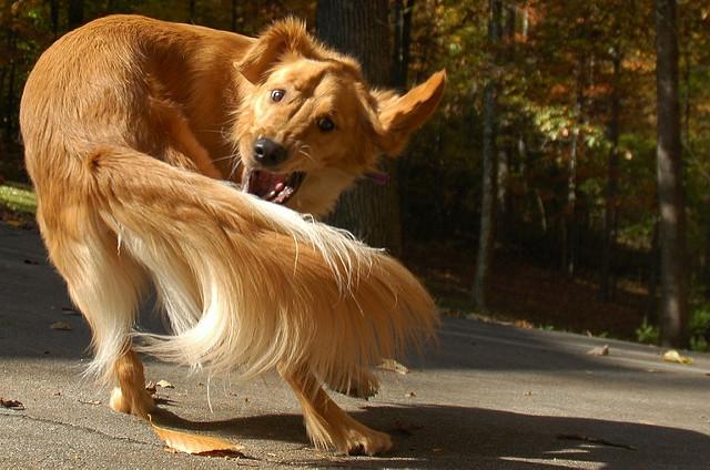 dog-tail-chasing