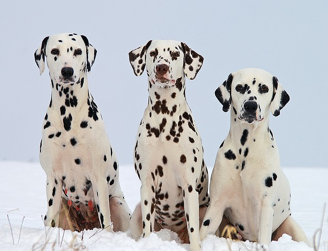 dalmatian-dog-breed-of-the-month-march-2019