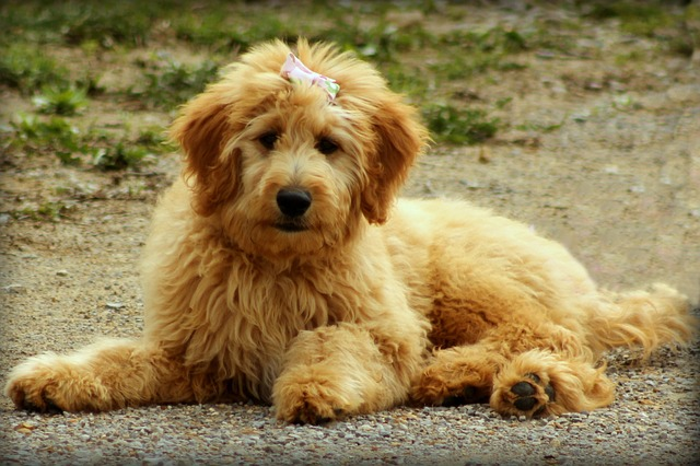 goldendoodle-groodle-pros-and-cons