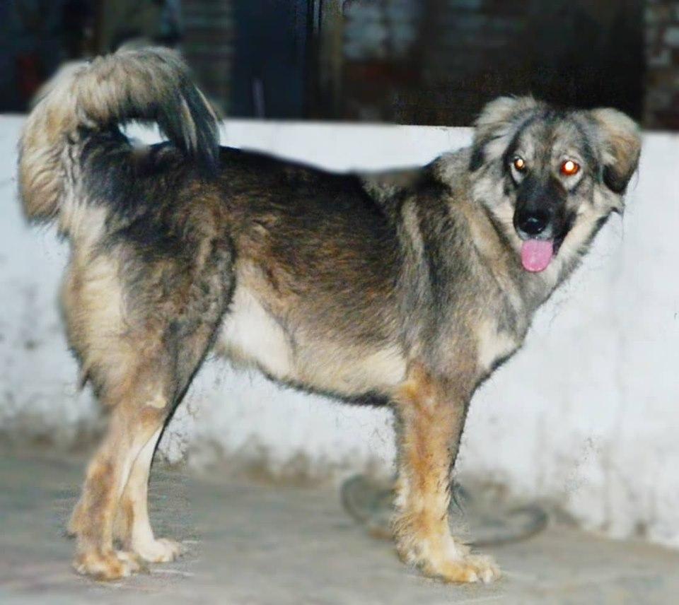 Bakharwal dog