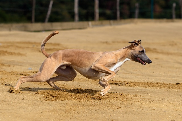 rampur greyhound indian dogs