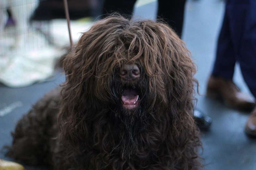 American Kennel Club Adds 4 Dog Breeds To Its Ranks