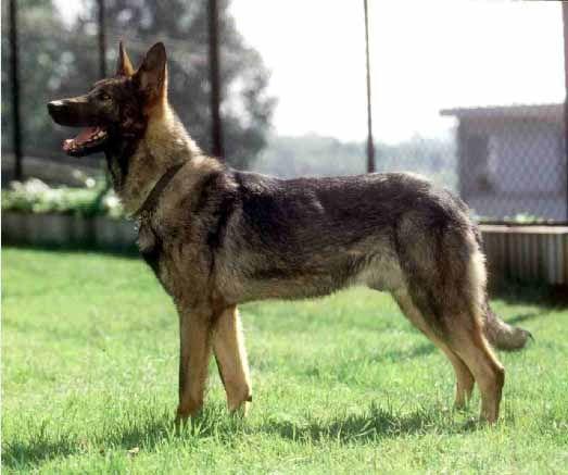 Kunming wolfdog from China