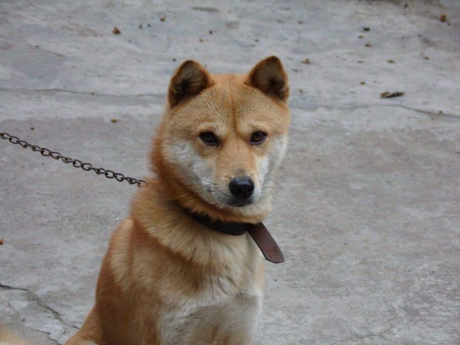 tugou formosan mountain dog