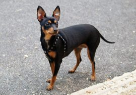 Prague Ratter (Pražský Krysařík) Dog Breed Info