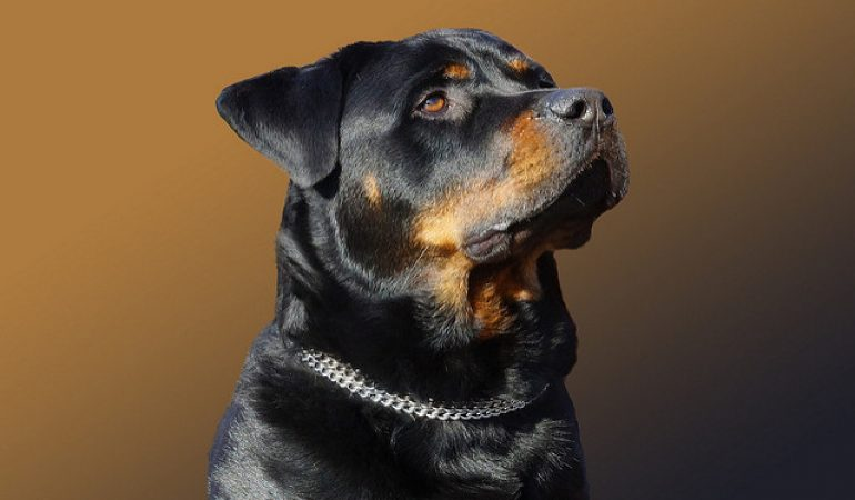 Top 100+ Rottweiler Names Ideas in 2021 [Male – Female]