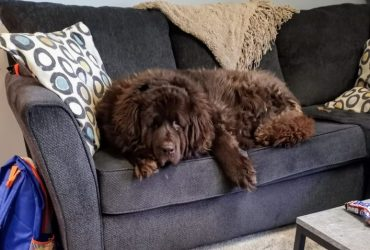 All About Newfypoo Dog Breed – The Gentle Giant