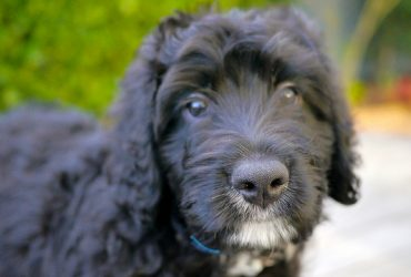 Standard Bernedoodle Breed Info | Pros, Cons, Health, and Diet