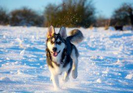 Utonagan Dog Breed Info – The Wonderful Mixture