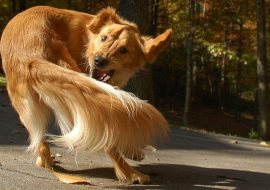Why do Dogs Chase their Tails and how to Stop them