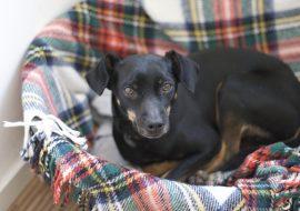 Jagdterrier Dog Breed Info – The Little Powerhouse