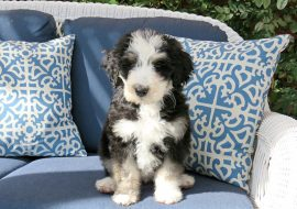 11 Bernedoodle Facts You Must Know