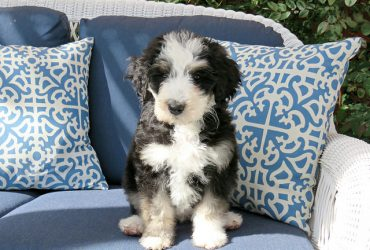 Bernedoodle Puppies | The Most Adorable Creatures