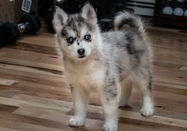Facts You Need to Know About Full Grown Pomsky