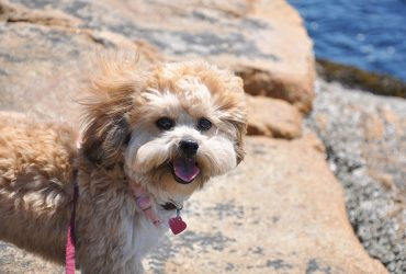 Shih Poo Dog Breed Info | Features, Cons, Pros, and Health