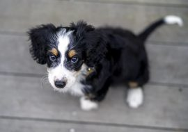 Best Bernedoodle breeders in California (Top 4 in 2021)