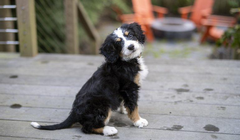 Top 10 Most Popular Designer Dog Breeds in 2021