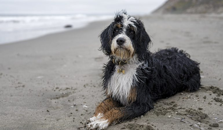 Best Bernedoodle Breeders in Indiana – Top 5 picks