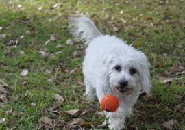 Moodle Dog Pros and Cons – Must read before you get