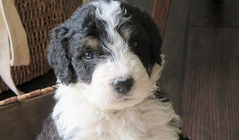 Bernedoodle Pros And Cons Habits And Features You Need To