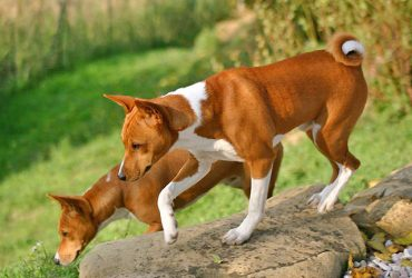 Basenji – 10 Unbelievable Facts About the Barkless Dog