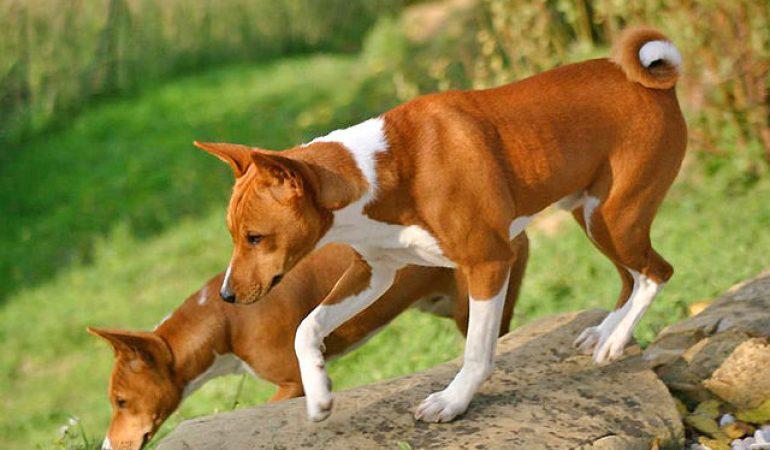 Basenji – 10 Unbelievable Facts About the Barkless Dog
