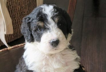 Mini Bernedoodle – The Best Small-Sized Hypoallergenic Dog
