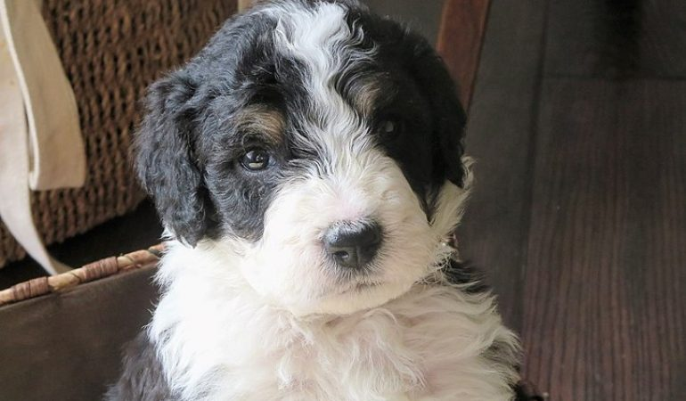 Mini Bernedoodle The Best Small Sized Hypoallergenic Dog