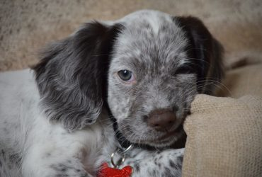 All About Sprocker Spaniel – Characteristics & Facts