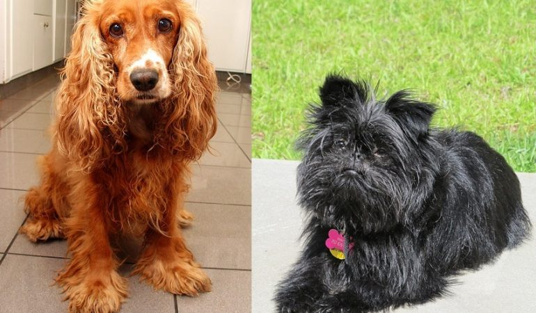 Affen Spaniel Dog Breed Info and Characteristics