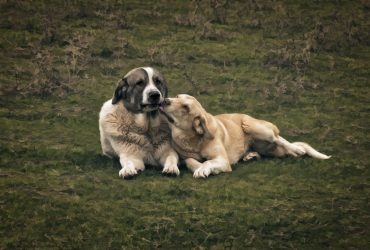 All about Anatolian Shepherd – Breed Characteristics and Features