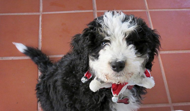 Bernedoodle Dog Breed Info A Bernese Mountain Dog And