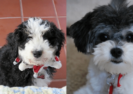 Bernedoodle vs Shih Poo – A Quick Comparison