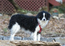 All About Bordoodle Dog – Characteristics & Facts
