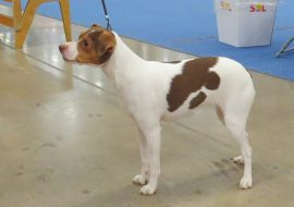 All About Brazilian Terrier – Everything about the breed