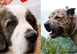 Bully Kutta vs Pyrenean Mastiff – A Quick Comparison