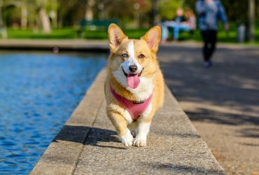 Welsh Corgi Health and Diseases