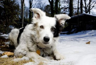 Chaser, The Border Collie Who can Recognize 1022 Words
