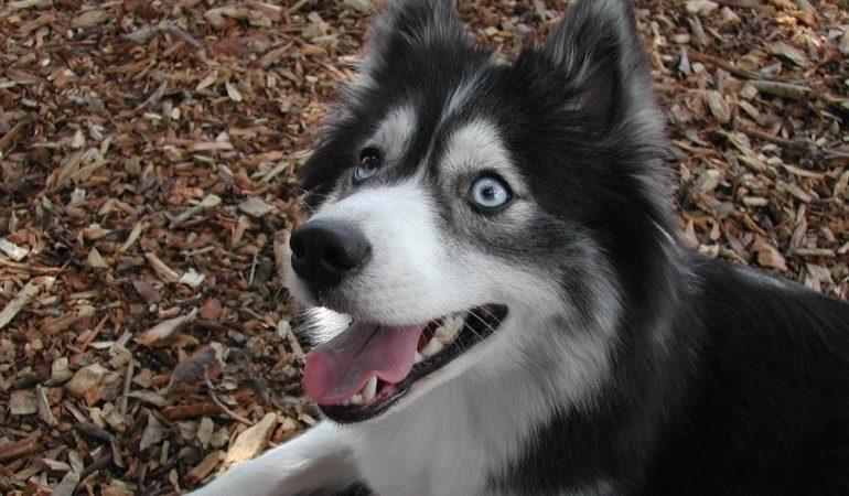 Huskimo Dog Breed Info – A Detailed Guide
