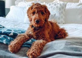 Irish Doodle Dog Breed Info – A Comprehensive Guide