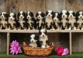 Bernedoodle Dog Breed Info | Read Before You Get