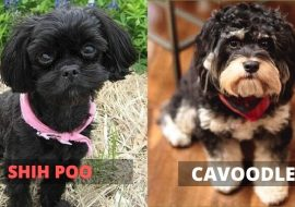 Shih Poo vs Cavoodle – A Quick Comparison