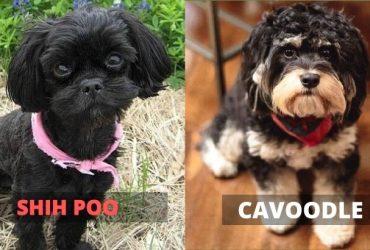 Shih Poo vs Cavoodle – A Quick Comparison