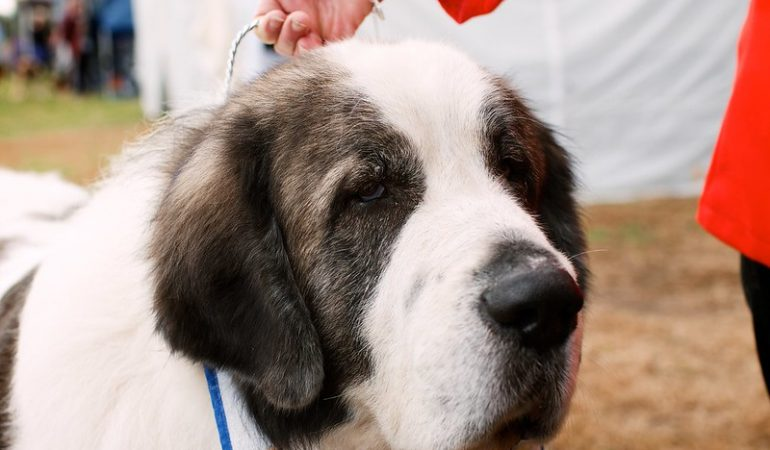 Pyrenean Mastiff Dog Breed Info