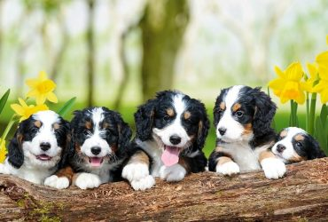 Bernedoodle Pros and Cons   Must Read Before You Get
