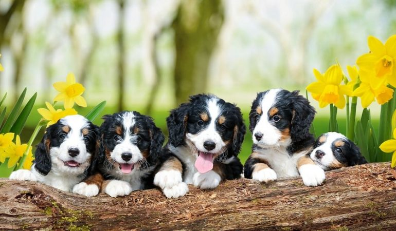 Bernedoodle Pros and Cons | Must Read Before You Get