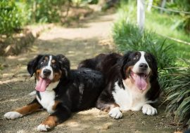 200+ Bernese Mountain Dog Names With Meanings