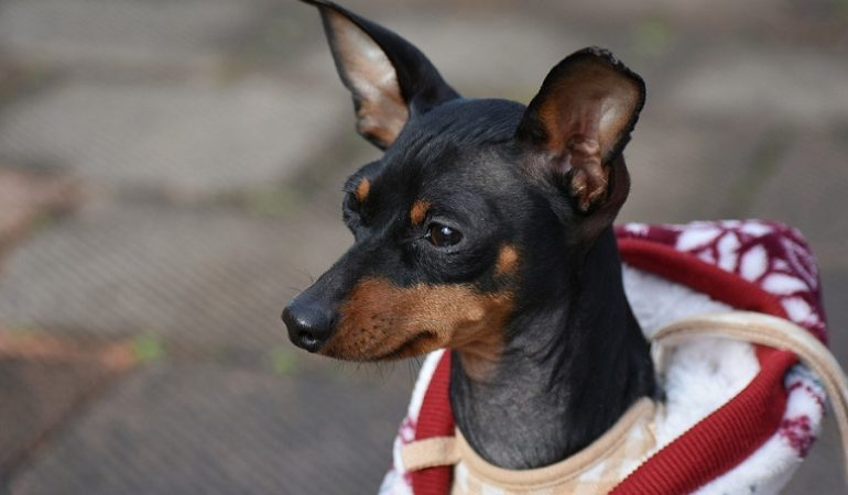 Miniature Pinscher – Dog Breed of the Month May 2019